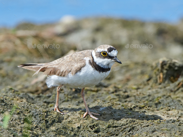 Little ringed plover (Charadrius dubius) - Stock Photo - Images