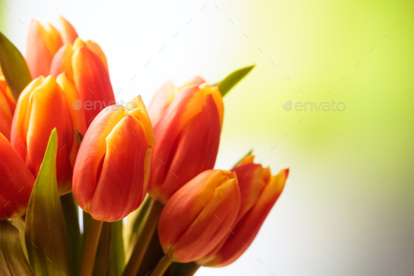 Tulips bouquet close up, blur nature background, copy space - Stock Photo - Images