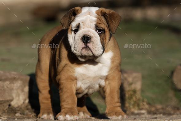 Portrait of puppy english bulldog - Stock Photo - Images