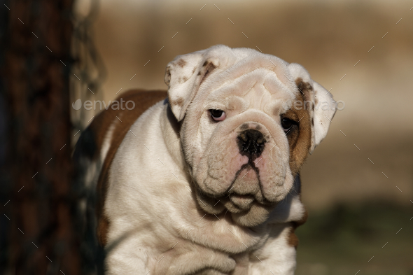 Portrait of puppy english bulldog - Stock Photo - Images