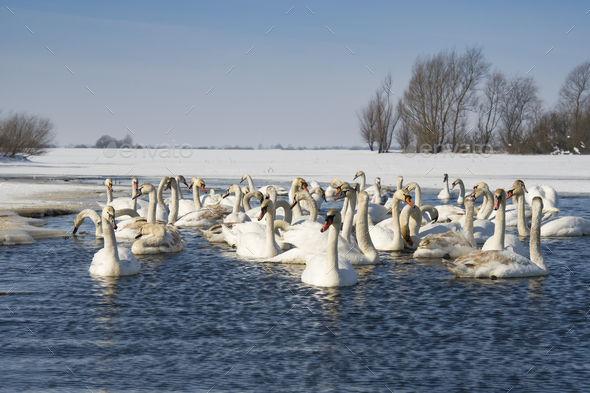 swans - Stock Photo - Images
