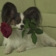 Dog Papillon Keeps Red Rose in His Mouth in Love on Valentines Day Stock Footage Video - VideoHive Item for Sale