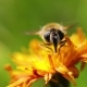 Wasp Collects Nectar From Flower Crepis Alpina - VideoHive Item for Sale