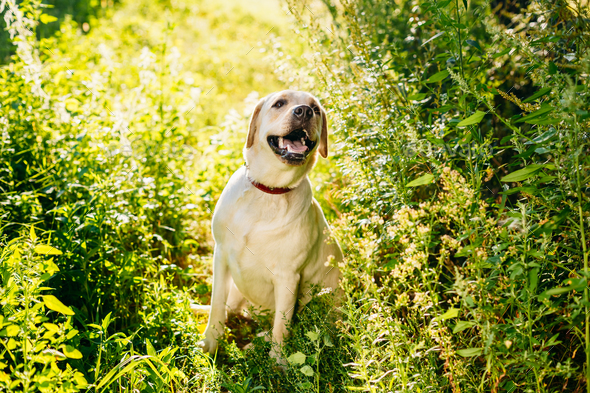 Happy White Labrador Retriever Dog Sitting In Grass, Park Backgr - Stock Photo - Images