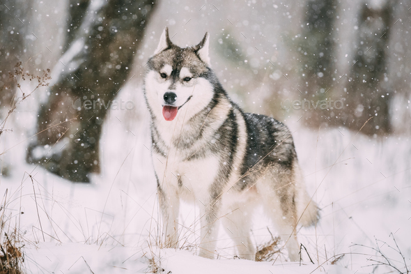 Siberian Husky Dog Walking Outdoor In Snowy Field At Winter Day - Stock Photo - Images