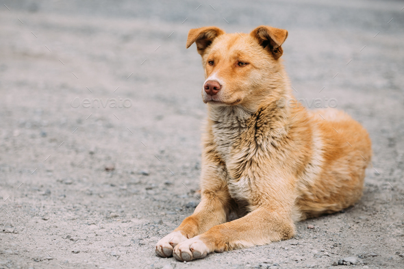 Red Medium Size Mixed Breed Homeless Dog Sit Outdoor On Street - Stock Photo - Images