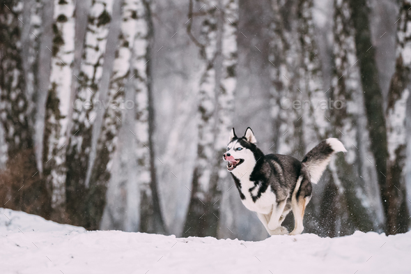 Siberian Husky Dog Running Outdoor In Snowy Field At Winter Day. - Stock Photo - Images