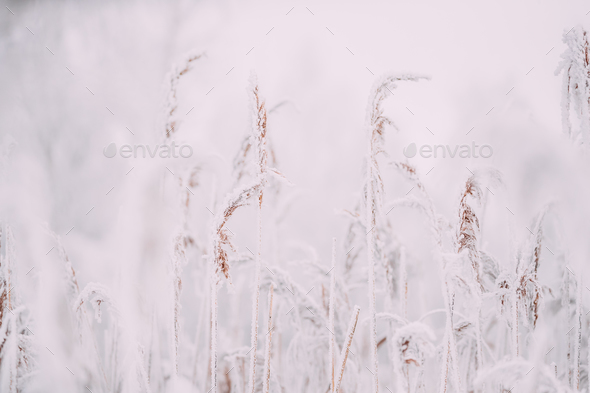 Beautiful Snowy White Grass In Winter Frosty Day - Stock Photo - Images