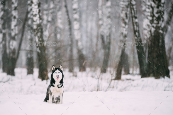 Siberian Husky Dog Sitting Outdoor In Snowy Field At Winter Day - Stock Photo - Images
