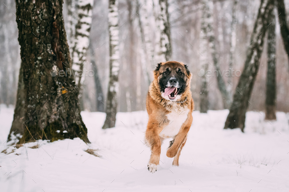 Caucasian Shepherd Dog Running Outdoor In Snowy Field At Winter - Stock Photo - Images