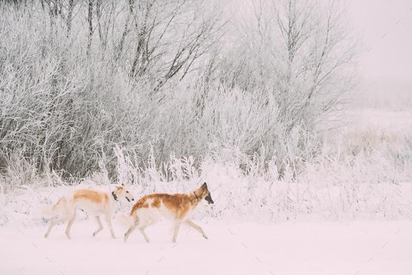Two Russian Wolfhound Hunting Sighthound Russkaya Psovaya Borzay - Stock Photo - Images