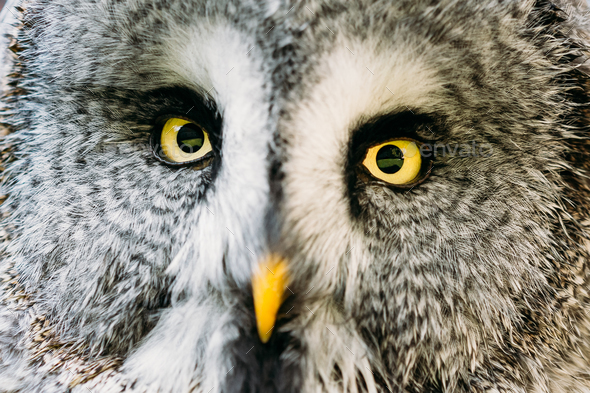 Close Up Face And Eyes Of Great Grey Owl Or Great Gray Owl. Stri - Stock Photo - Images