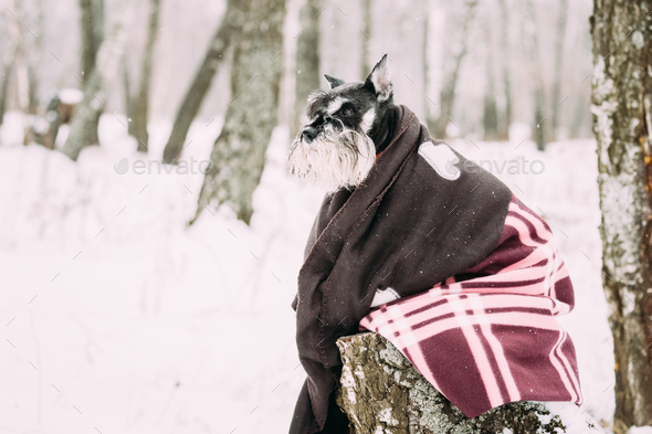 Miniature Schnauzer Dog Or Zwergschnauzer Muffled In Rug Sitting - Stock Photo - Images