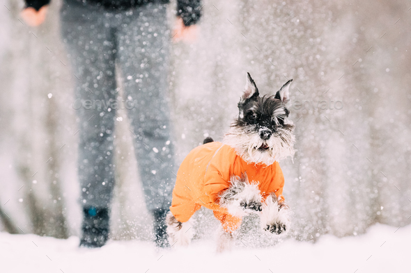 Miniature Schnauzer Dog Or Zwergschnauzer Sitting In Outfit Play - Stock Photo - Images