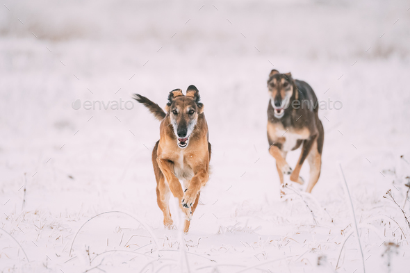 Two Hunting Sighthound Hortaya Borzaya Dogs During Hare-hunting - Stock Photo - Images