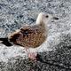 Grey seagull - PhotoDune Item for Sale