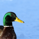 Wild male duck head - PhotoDune Item for Sale