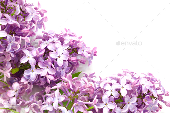 syringa on a white background - Stock Photo - Images