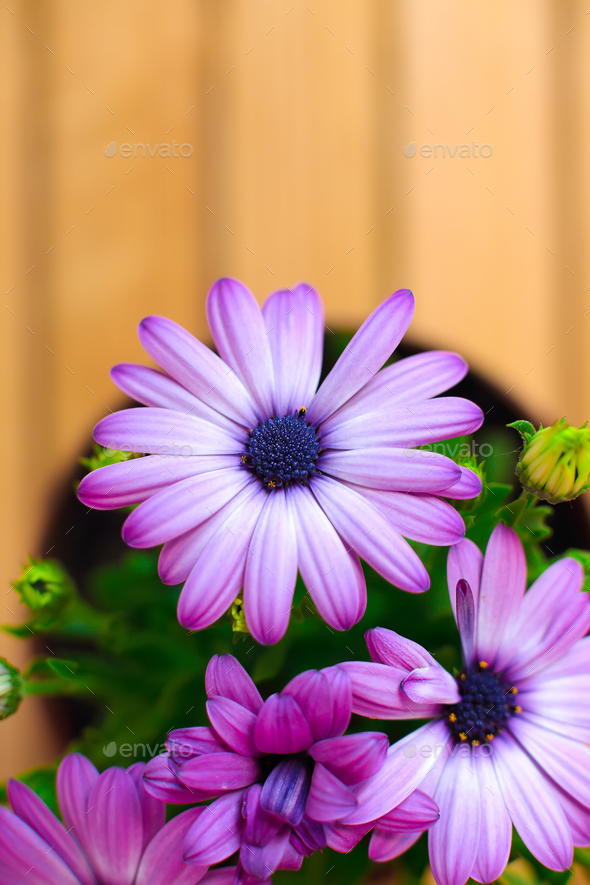 beautiful purple daisies with space for text - Stock Photo - Images