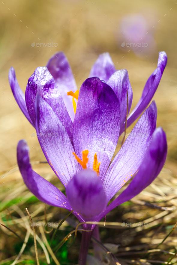 Purple crocus flowers in snow awakening in spring - Stock Photo - Images