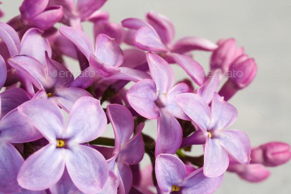 Beautiful blossoming lilac (syringa) - Stock Photo - Images