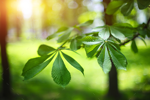 leaves of the chestnut forest backdrop - Stock Photo - Images