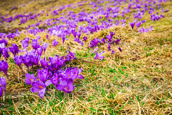 Purple crocus flowers in snow awakening in spring - Stock Photo - Images