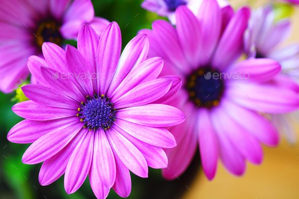 Vibrant beautiful purple daisies. - Stock Photo - Images