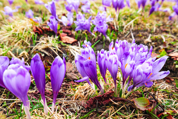 Purple crocus flowers in snow awakening in spring to the warm go - Stock Photo - Images