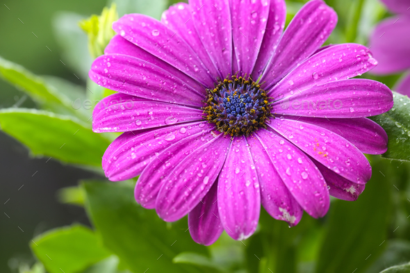beautiful purple daisy in the morning dew - Stock Photo - Images