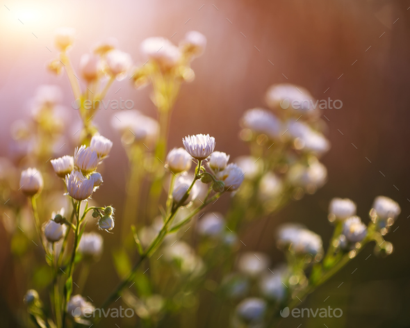 Meadow daisies flowers blooming in sunny day. - Stock Photo - Images
