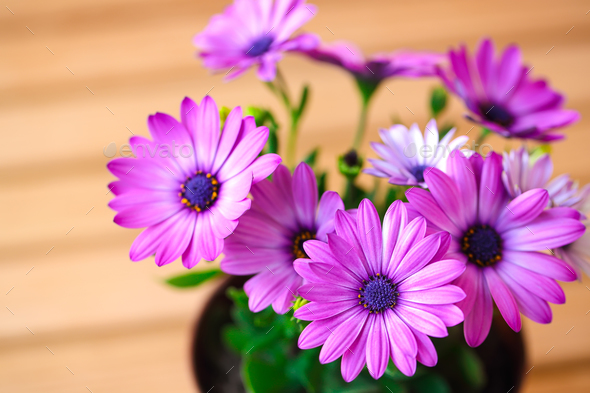 Vibrant beautiful purple daisies. - Stock Photo - Images