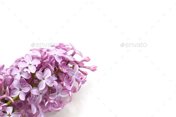 syringa on a white background. - Stock Photo - Images