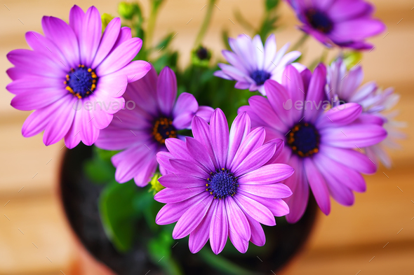 Vibrant beautiful purple daisies - Stock Photo - Images