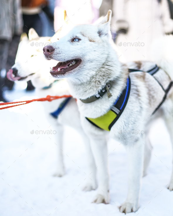 Sledding with husky dogs in Lapland Finland - Stock Photo - Images