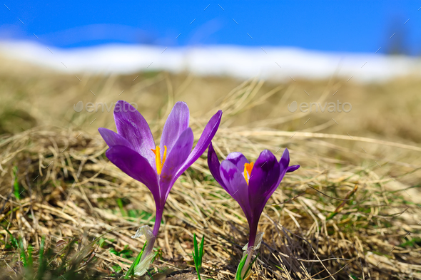 Spring mountain landscape with violet crocuses blooming on the m - Stock Photo - Images