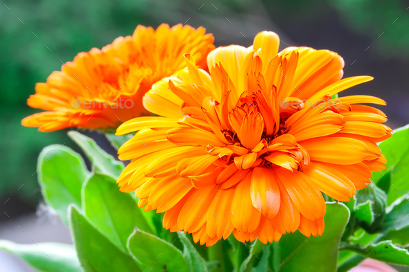 beautiful orange daisy in the garden - Stock Photo - Images