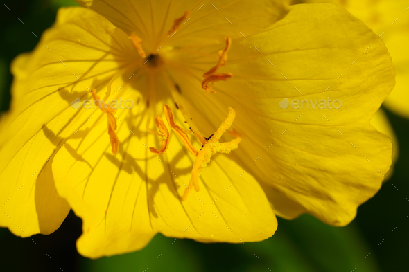 yellow flower close up at day. - Stock Photo - Images