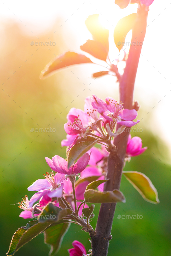Spring flowering wild apples in the garden. Pollination of flowe - Stock Photo - Images