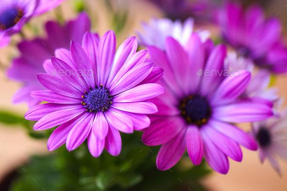 Vibrant beautiful purple daisies - Stock Photo - Images