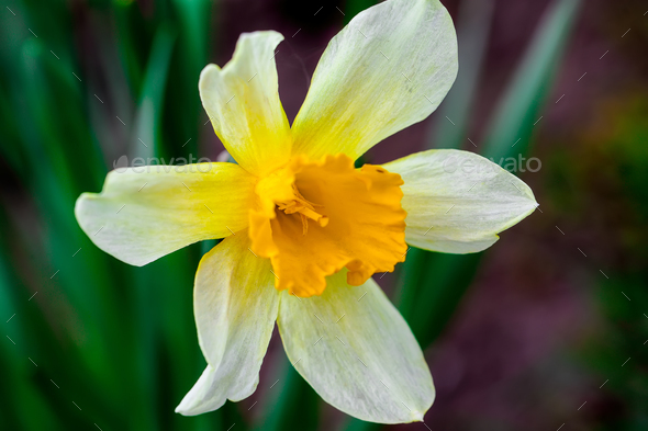 Narcissus spring yellow flowers on sunshine glade - Stock Photo - Images