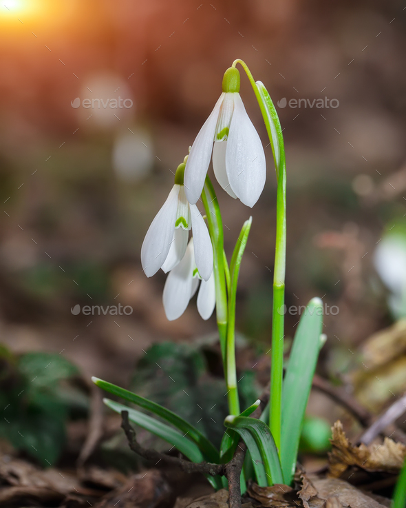 Spring snowdrop flowers blooming in sunny day. - Stock Photo - Images