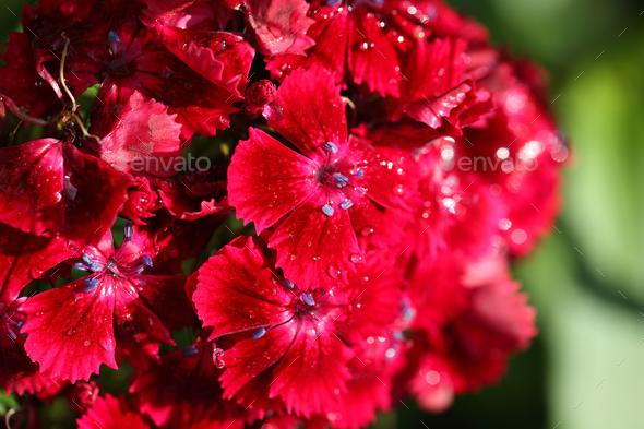 Morning dew on Carnation. - Stock Photo - Images