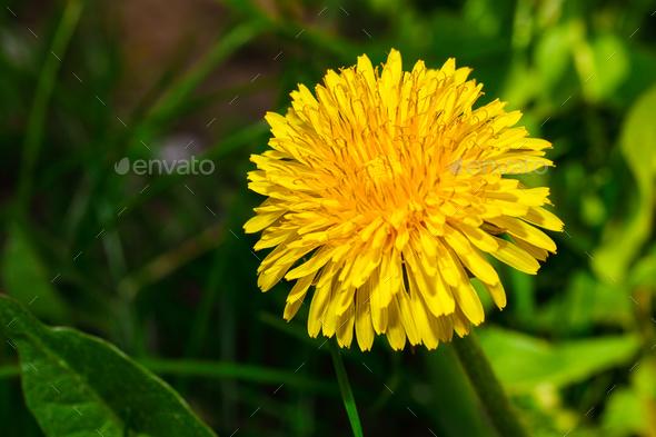 yellow dandelion flower - Stock Photo - Images
