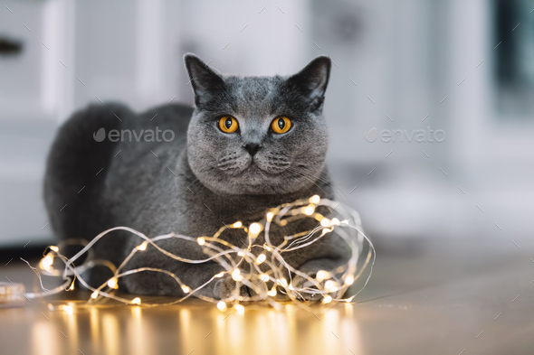 Grey cat playing with a string of lights - Stock Photo - Images