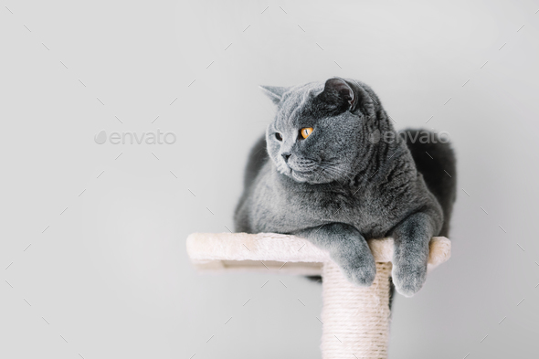 Grey furry cat laying on the top of the scratcher - Stock Photo - Images