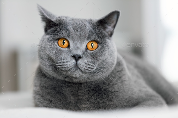 Cute grey cat laying on the sofa. - Stock Photo - Images