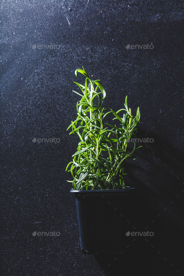 Fresh green rosemary in a black flower pot - Stock Photo - Images