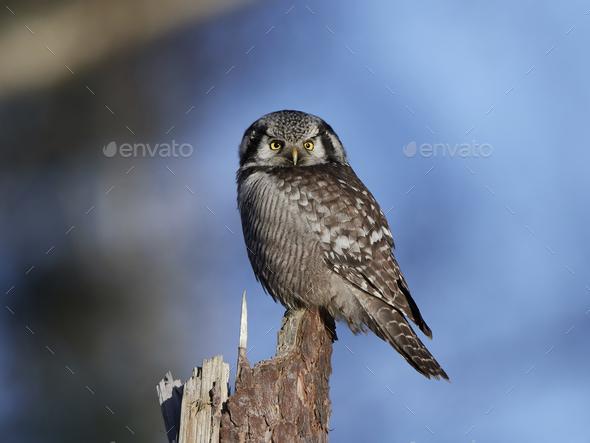Northern hawk-owl (Surnia ulula) - Stock Photo - Images