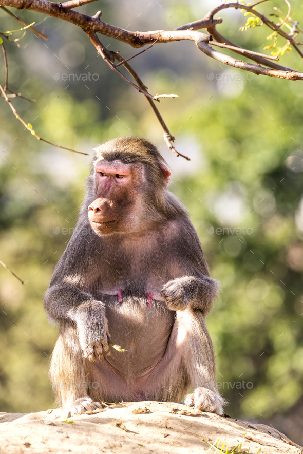 Baboon on Rock - Stock Photo - Images